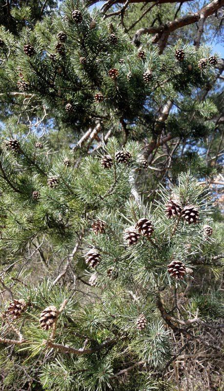 Pin sylvestre, Pinus sylvestris L.