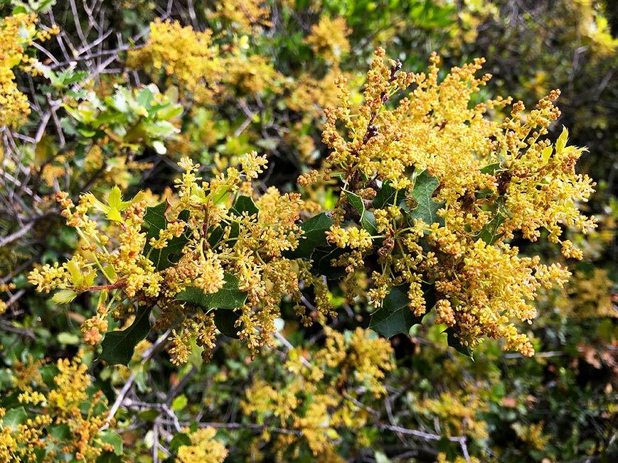 Chêne kermès, Quercus coccifera L.