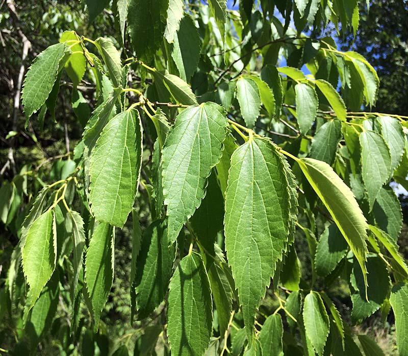 Micocoulier de Provence, Celtis-australis L., feuillage.