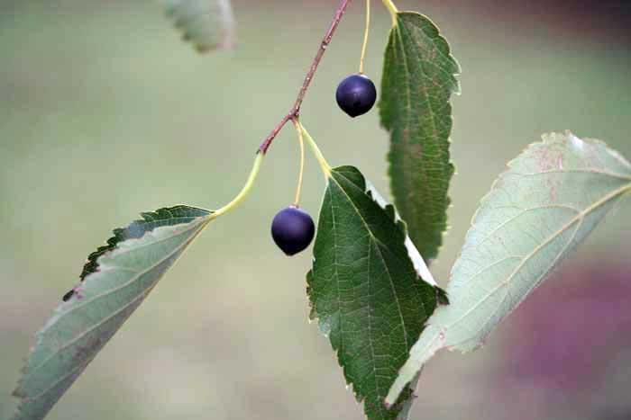 Micocoulier de Provence, Celtis-australis L.