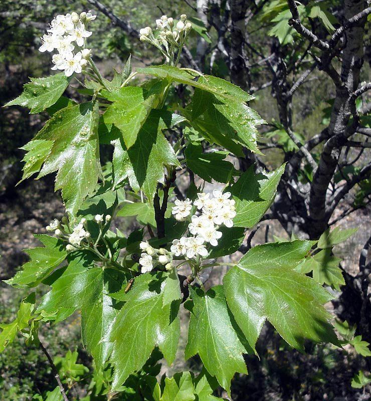 Alisier torminal, Sorbus torminalis L.