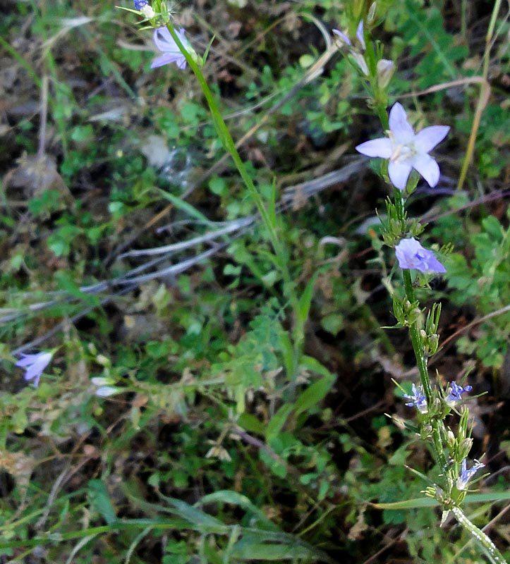 Campanule raiponce, Campanula rapunculus L.