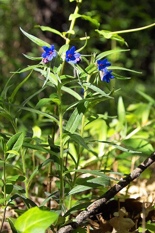 Grémil bleu pourpre, Lithospermum purpurocaeruleum L.