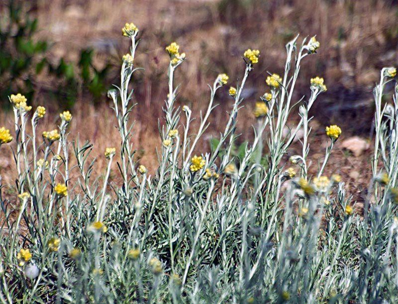 Immortelle, Helichrysum stoechas L.