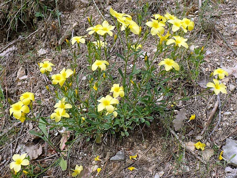 Lin campanulé, Linum campanulatum L.