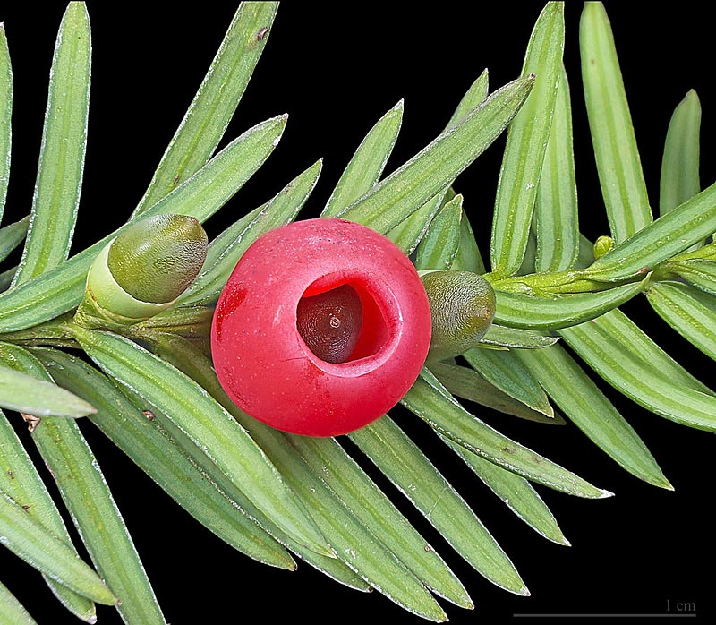 If, Taxus baccata L.