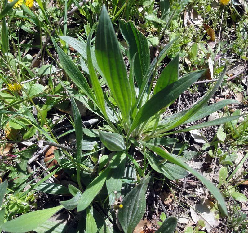 Plantain lancéolé, Plantago lanceolata L. 3
