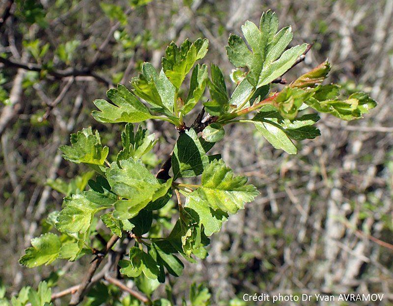 Aubépine monogyne feuilles, Crataegus monogyna jacq.