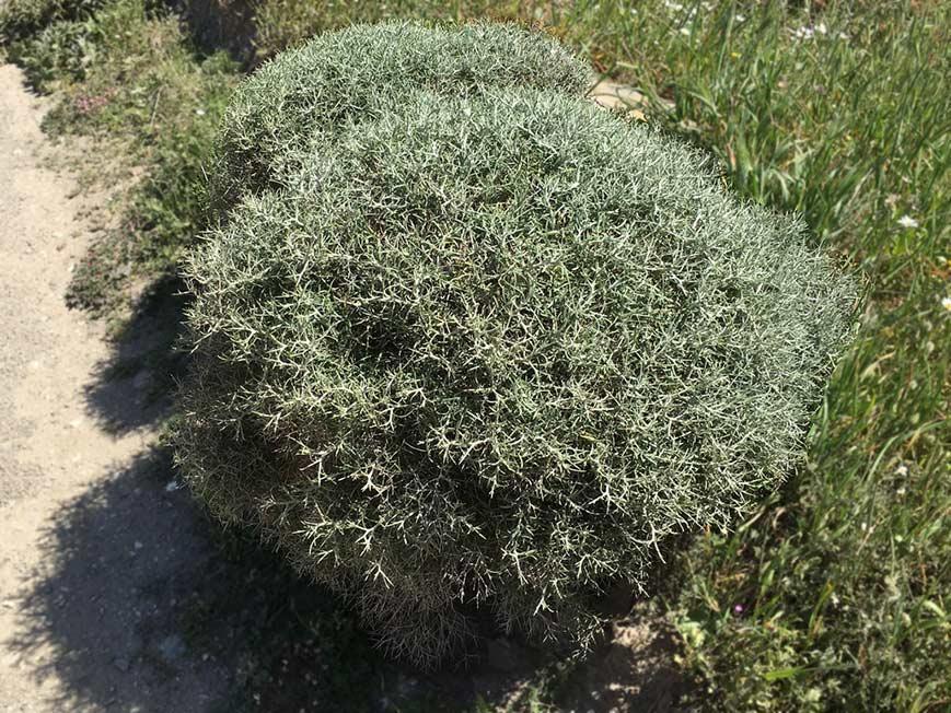 Alysson épineux, Hormatophylla spinosa L.