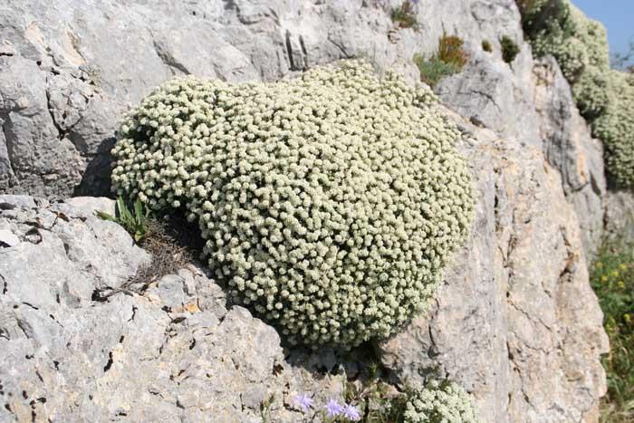 Alysson épineux, Hormatophylla spinosa