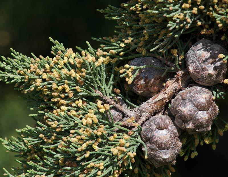 Cyprès de Lambert, Cupressus macrocarpa