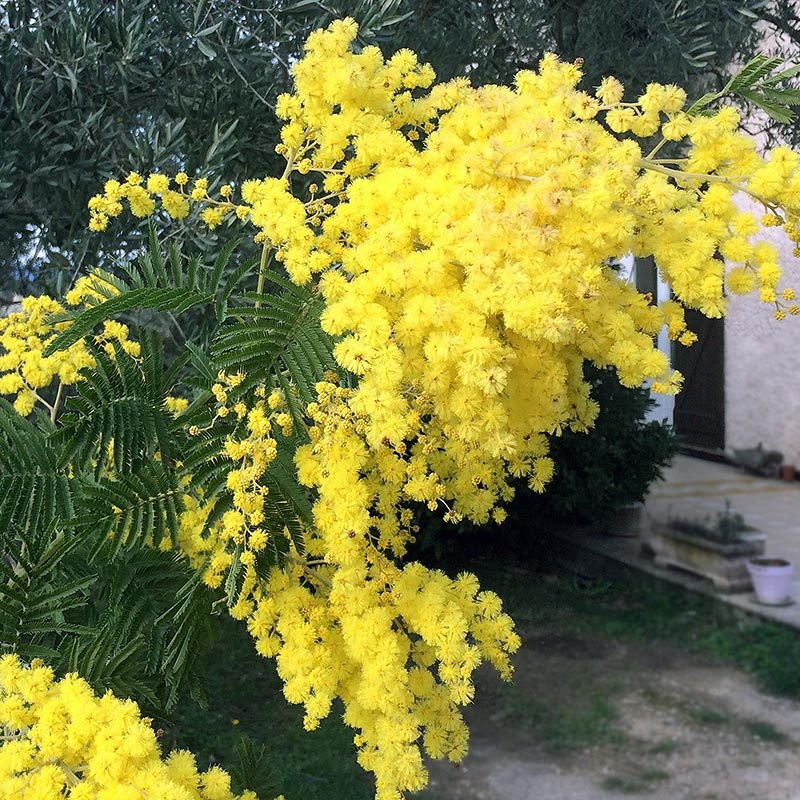 Mimosa, Acacia dealbata.