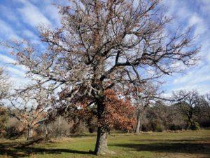 Chêne pubescent, Quersus pubescens