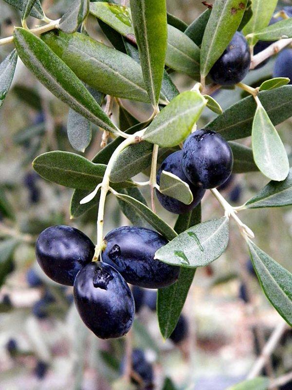 Olivier cultivé, Olea europaea, un rameau avec feuilles et fruits mûrs.