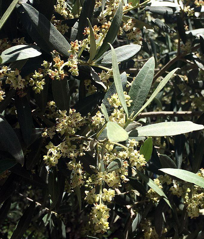 Olivier cultivé, Olea europaea, rameau fleuri.