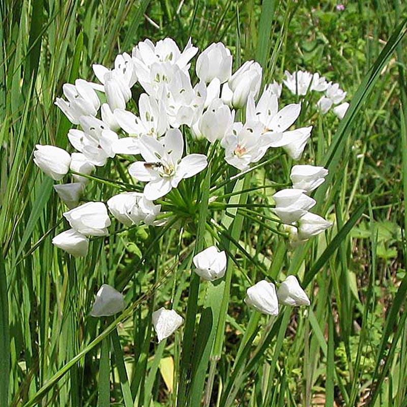 Ail de Naples, Allium neopolitanum