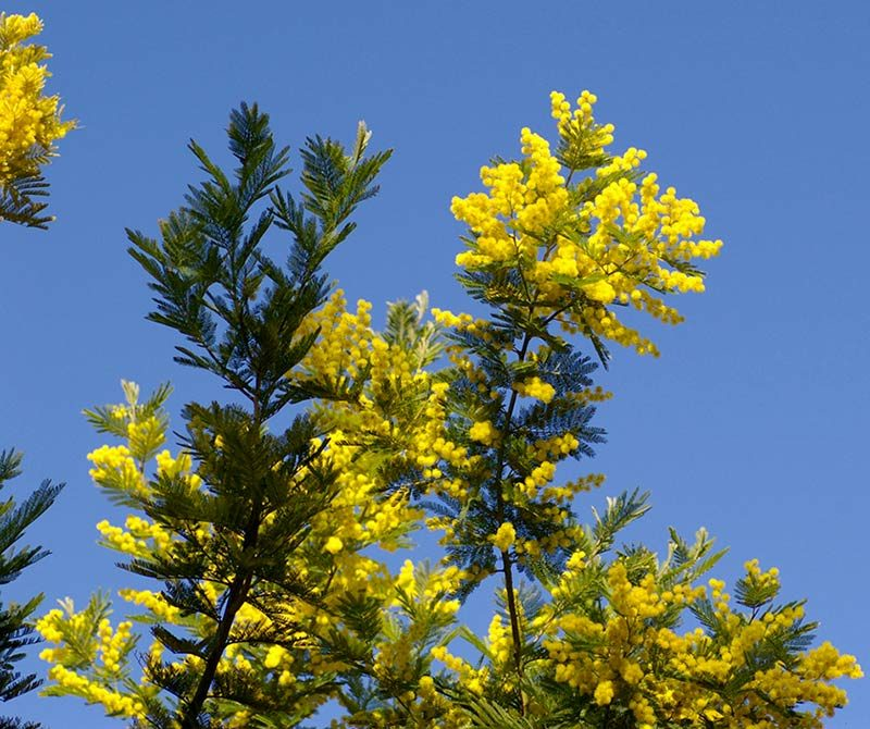 Mimosa, Acacia dealbata