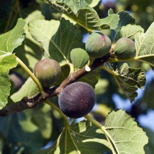 Figuier, Ficus carica, Violette de Solliès