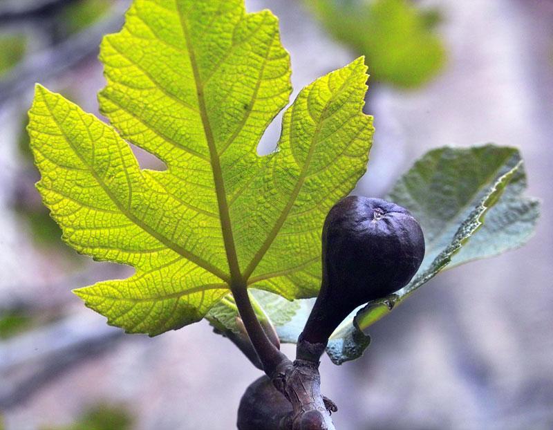 Figuier, Ficus carica