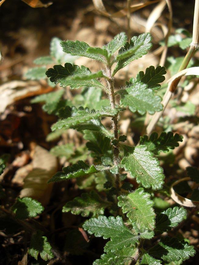 Germandrée petit-chêne, Teucrium chamaedrys L.