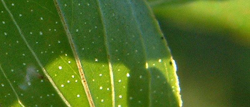 Millepertuis perforé, Hypericum perfoliatum, feuille