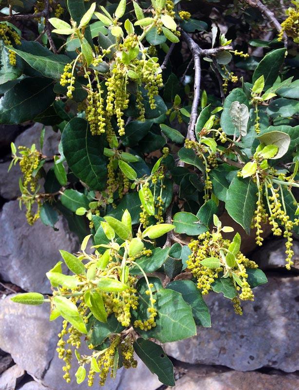 Chêne vert, Quercus ilex L.