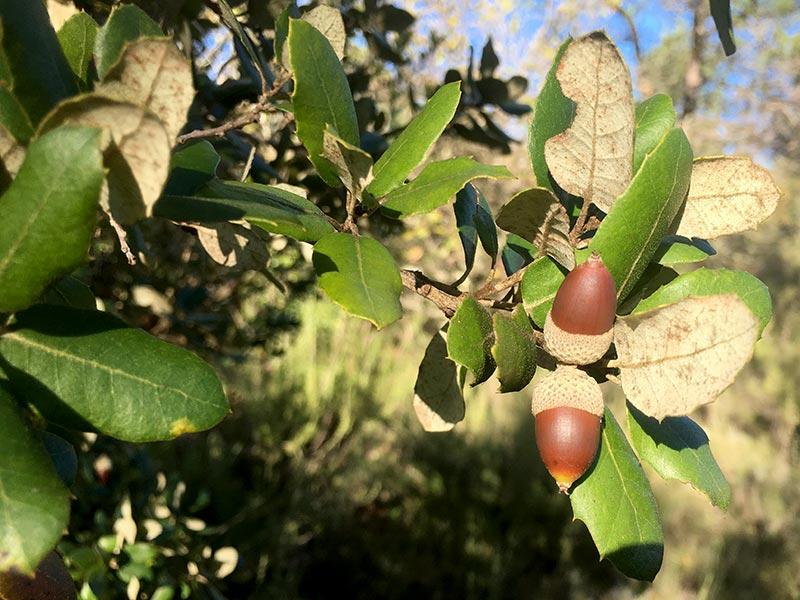 Chêne vert, Yeuse, Quercus ilex L.