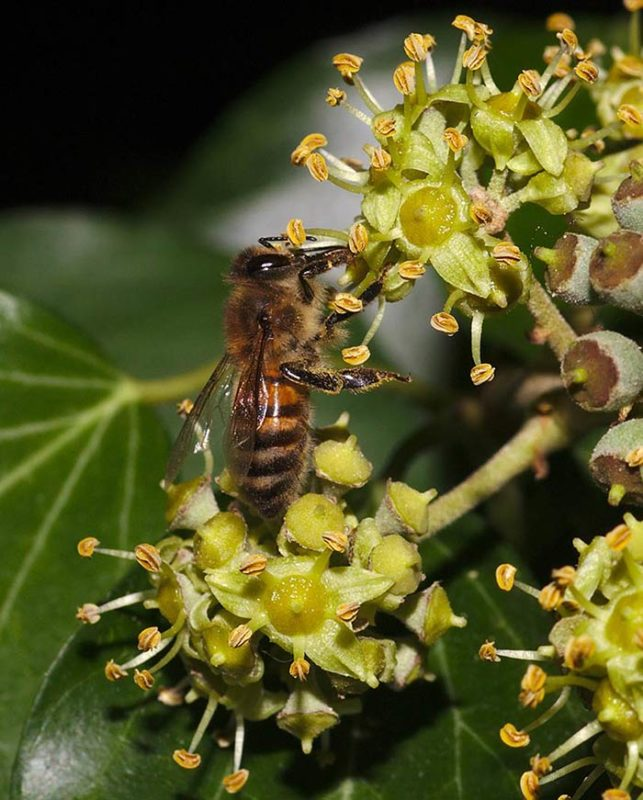 Lierre, Hedera-helix L., abeille du lierre.