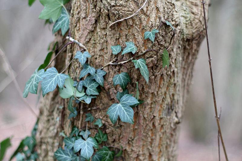 Lierre, Hedera helix L., sur un arbre.