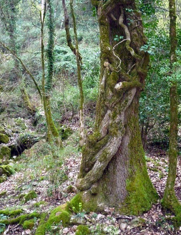 Lierre, Hedera helix L., sur un tronc d'arbre.