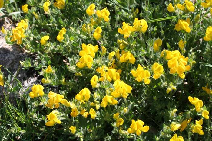 Lotier corniculé, Lotus corniculatus L.