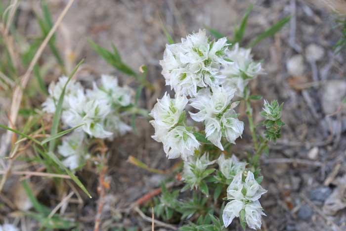 Paronyque argentée, Paronychia argentea Lam.