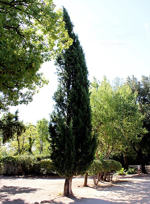Cyprès commun, Cupressus sempervirens.